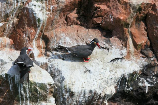 Fauna rezerwatu Paracas. Paracas, Islas Ballestas. Peru Piotr