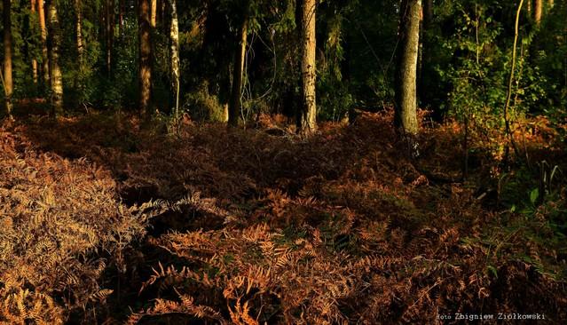 Leśna paproć Zbyszek1955 #337570