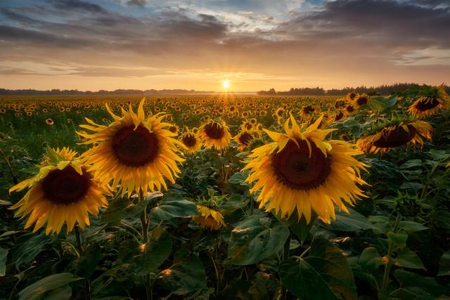 Słoneczniki o zachodzie słońca JakubKoziol #309036