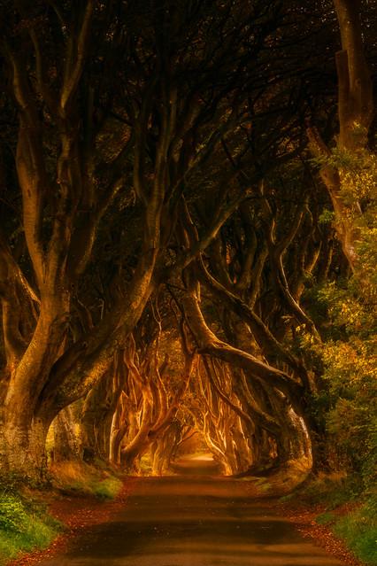 Dark Hedges Ryszard Lomnicki #321767