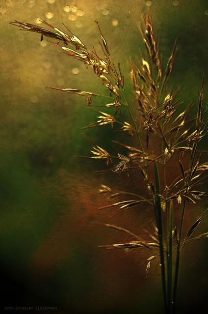 Źdźbła trawy (ang. Leaves of Grass) Zbyszek1955 #336851