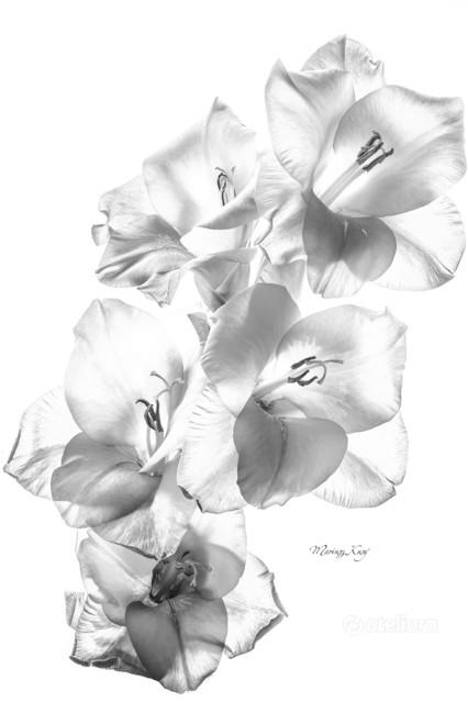 gladiolus Mariusz Kusy #327223