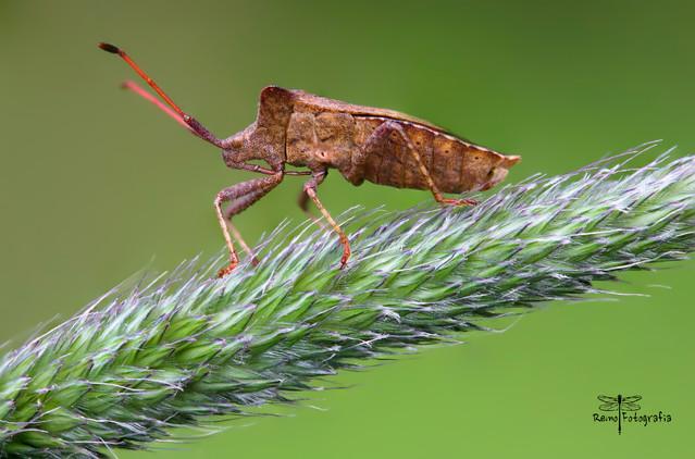 Coreus marginatus-Wtyk straszyk, Straszyk szczawiowiec. REMIK