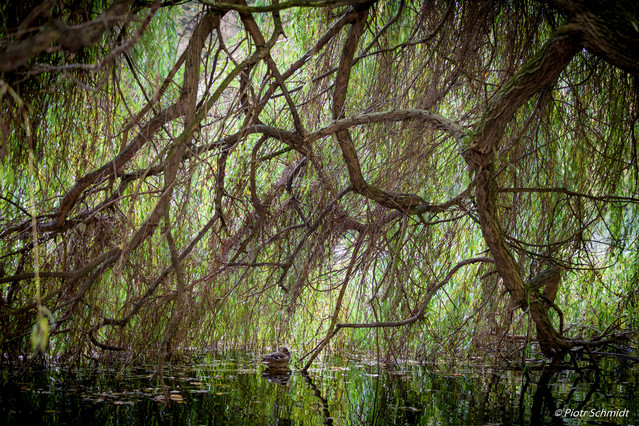 Weeping willow - hidden duck Wroclaw's park Piotr Schmidt