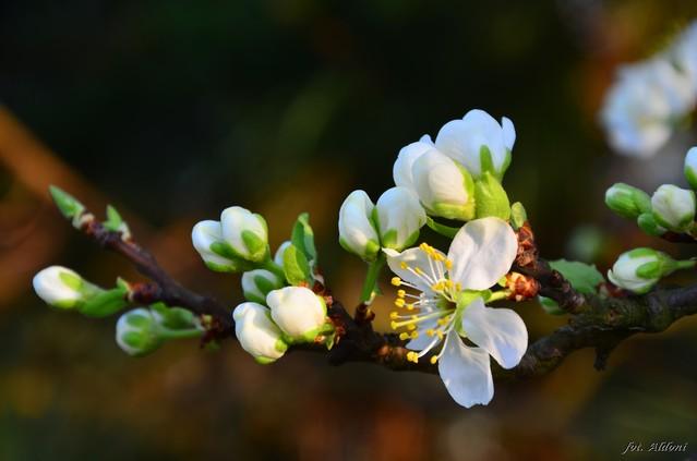 Aldona Nowakowska Jabłoni kwiat