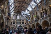 Arecki Sz Muzeum Historii Natury w Londynie