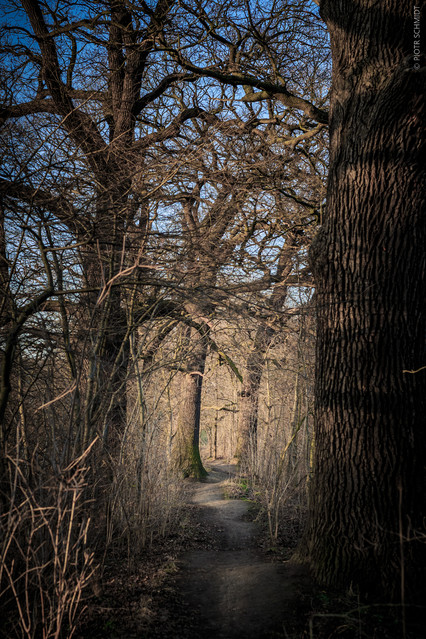Piotr Schmidt Oaks path