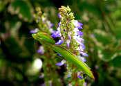 SEBASTIAN GIESSE Modliszka zwyczajna (Mantis religiosa)