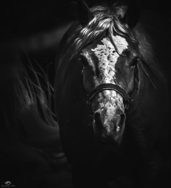 Horse - B&W Krzysztof Tollas #328933
