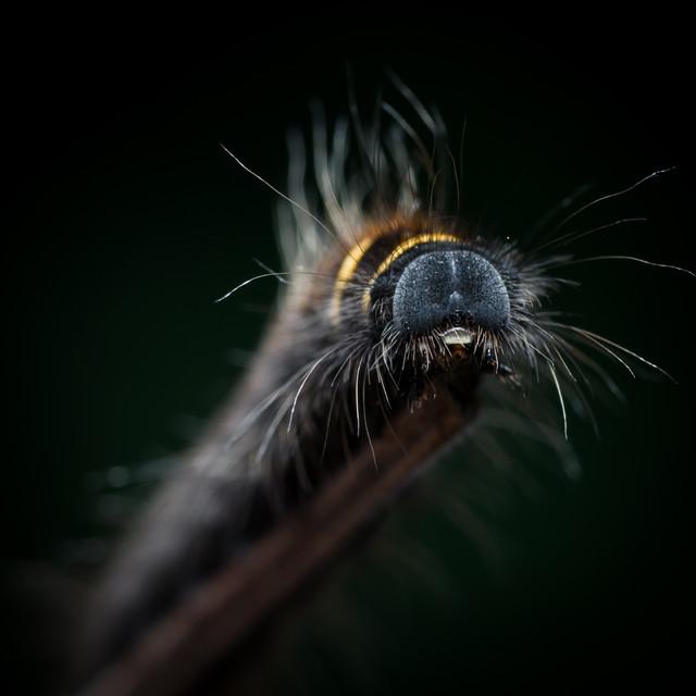 Łukasz Łagód Barczatka malinówka (Macrothylacia rubi)