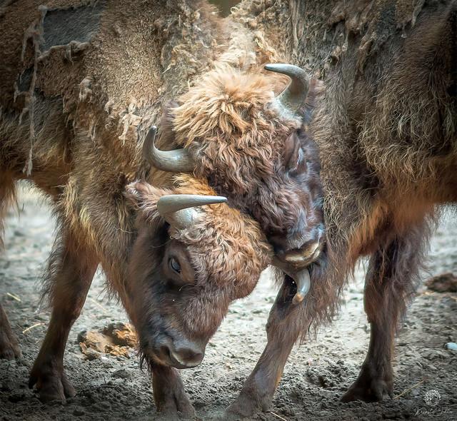 Bison fight Krzysztof Tollas #328056