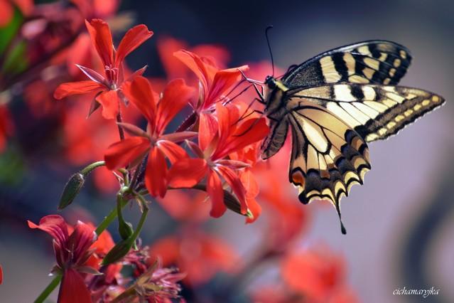 cichamaryjka motyl