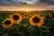 JakubKoziol Słoneczniki o zachodzie słońca