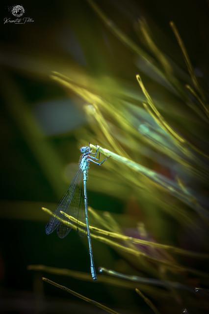 Dragonfly Krzysztof Tollas #326709