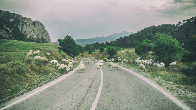 sheep on the road Mariusz Kusy #320721