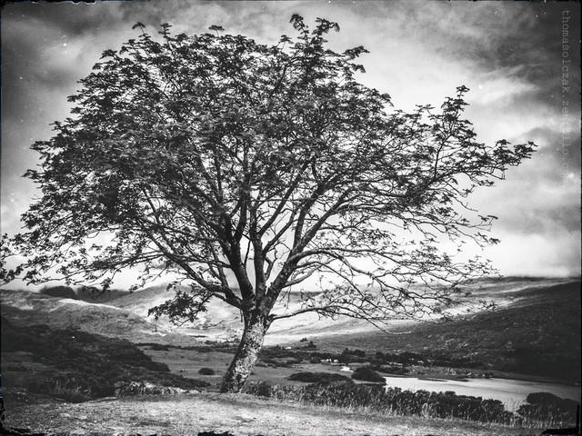 Tree of Life II Kerry@2016 TomaszOlczak #296778