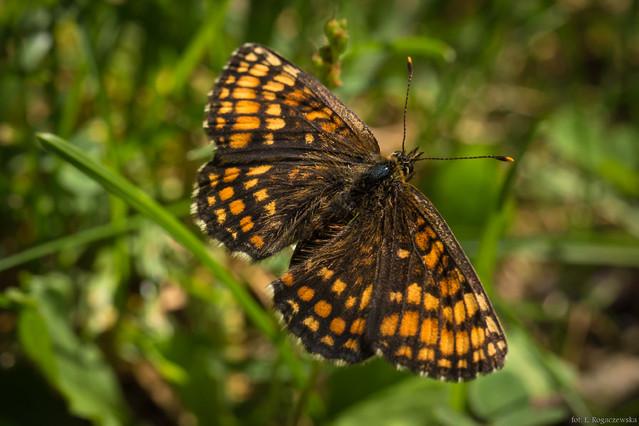 Elżbieta Rogaczewska motylek