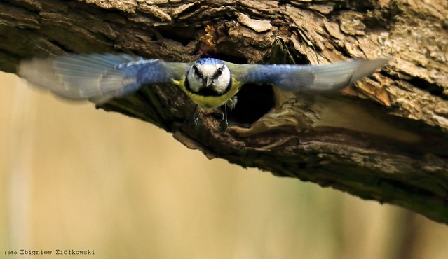 Śikorka modraszka (Cyanistes caeruleus) Dolina Noteci