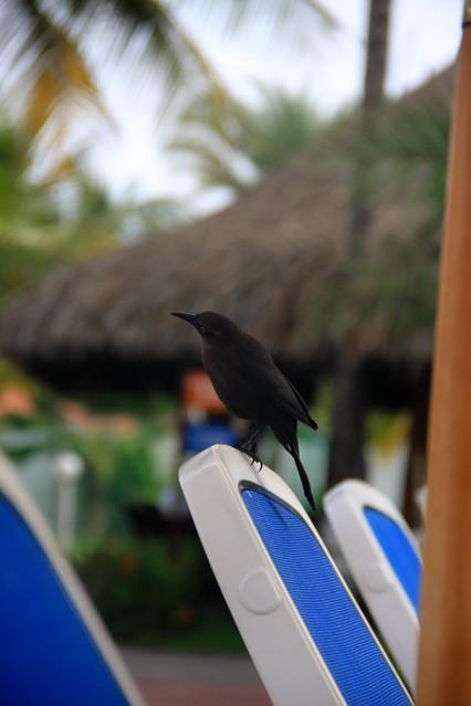 Rezydent hotelowy na czatach. Fauna Wyspy Margarita - Wenezuela