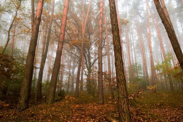Krzysztof Tollas  Światło słoneczne w mglistym jesień lesie